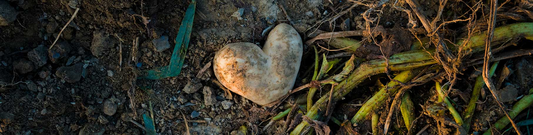 A heart shaped potato on a farmers field