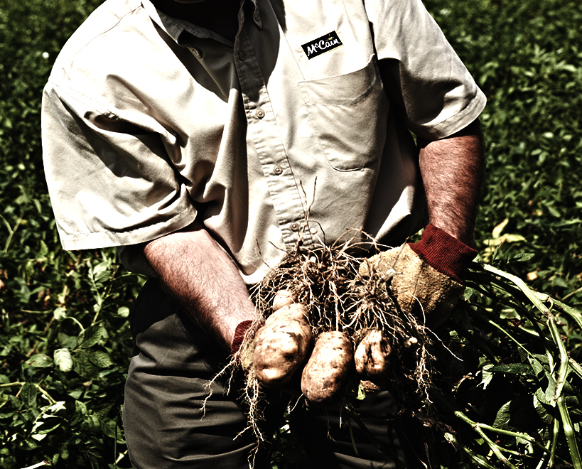 Potato plants in hands