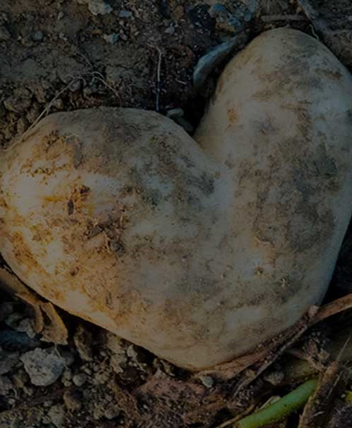 Heart shaped potato in field